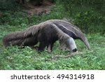 view of giant anteater | Shutterstock . vector #494314918