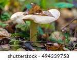 Louded Agaric  Clitocybe...