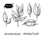 bay leaf vector hand drawn... | Shutterstock .eps vector #494367169