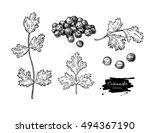 coriander vector hand drawn... | Shutterstock .eps vector #494367190
