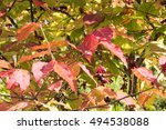 Small photo of Autumn Leaves , Fruit of Spindle Tree - Euonymus oxyphyllus