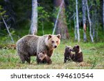 mother bear protects her three... | Shutterstock . vector #494610544