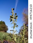 Small photo of The pigweed (Amaranthus retroflexus) is a common garden weed.