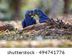 Hyacinth Macaws On A Ground In...