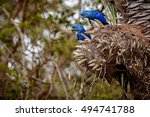 Hyacinth Macaws On A Palm Tree...