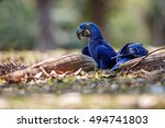 Hyacinth Macaw On A Ground In...