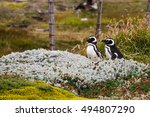 A Pair Of Magellanic Penguins ...