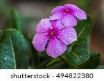 periwinkle  vinca minor  a... | Shutterstock . vector #494822380