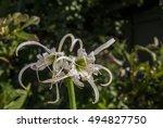 Peruvian Daffodil  Hymenocalli...