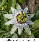 Blue Passion Flower  Passiflor...