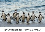 african penguins walk out of... | Shutterstock . vector #494887960