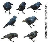 Black Birds Crow Isolated