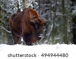 European Bison In The Wintery...