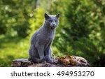 Grey Little Cat Breed Russian...