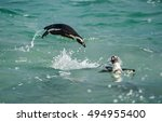swimming and jumping out of... | Shutterstock . vector #494955400