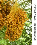Cluster Of Date Palm Being...