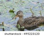 Small photo of American Black Duck (male)