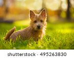 Stock photo norwich terrier puppy sitting in the grass in summer outdoor background 495263830