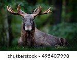 moose  north america  or... | Shutterstock . vector #495407998