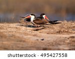 Small photo of The African skimmer (Rynchops flavirostris), pair sitting on the shore