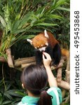 Small photo of zookeeper lady is feeding the red panda (Ailurus fulgens) selective focus