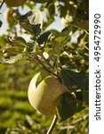 Small photo of Apple orchard, Amish Country, Lancaster County, Pennsylvania, USA