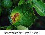 Small photo of lime canker;lemon canker; major citrus disease