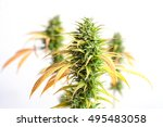 branch of cannabis plant with... | Shutterstock . vector #495483058