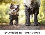Muddy Little Dog Stands Next To ...