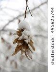 Seeds Of Hornbeam In Winter