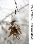 Seeds Of Hornbeam In Winter