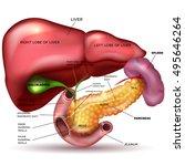 liver  pancreas  gallbladder... | Shutterstock . vector #495646264