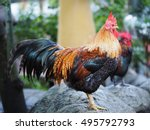Beautiful Rooster On A Rock