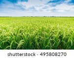 Rice Field In Local Area Of...