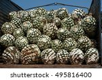 the agave for tequila is in the ... | Shutterstock . vector #495816400