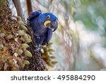 Hyacinth Macaw Close Up On A...