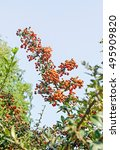 Pyracantha Coccinea  The...