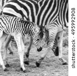 Wild Zebras In The Early...