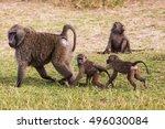 african baboon  | Shutterstock . vector #496030084