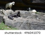 Three Mountain Goats Are Layin...