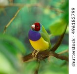 amadina finch or gouldian finch ... | Shutterstock . vector #496182799