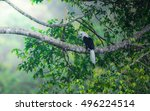 Small photo of White-crowned Hornbill male(Aceros comatus) on the branch in nature ,Southern Thailand