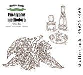 hand drawn eucalyptus leaves... | Shutterstock .eps vector #496257469