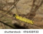 Small photo of An American Dagger (Acronicta americana) caterpillar on a twig in New River Gorge, West Virginia, USA.