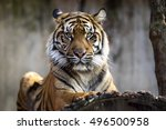 Female Sumatran Tiger ...