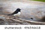 willie wagtail  rhipidura... | Shutterstock . vector #496546618