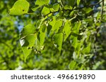 Fruits Lime Tree With Green...