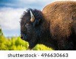 Bison Portrait In Yellowstone...
