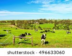 Cows Grazing On A Daily Farm I...