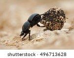 Flightless Dung Beetle ...